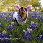 chihuahua in flowers