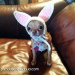teacup chihuahua easter bunny