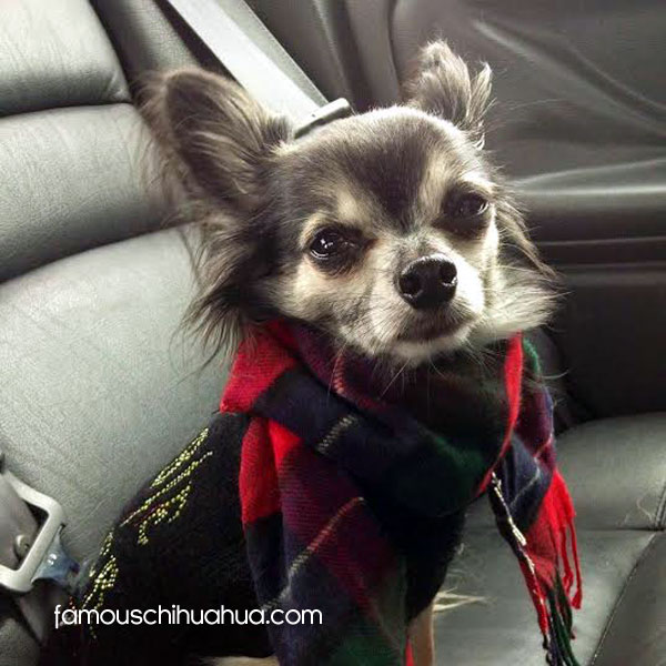 blue long haired chihuahua