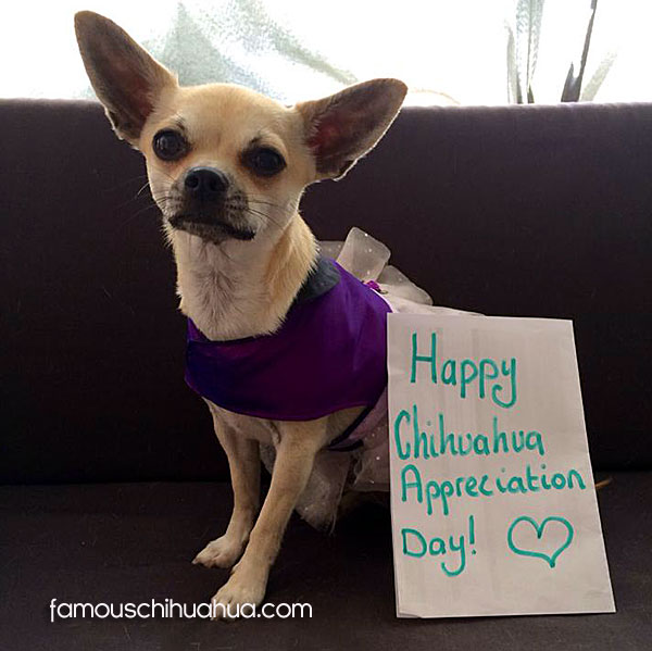 happy chihuahua appreciation day!