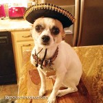 cincodemayo-chihuahua-picture