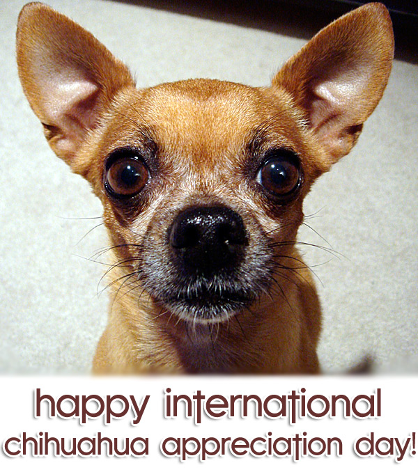 happy international chihuahua appreciation day!