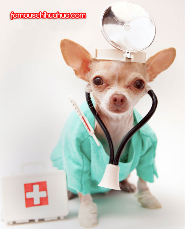 chihuahua doctor