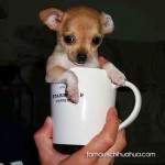 chihuahua in starbucks cup