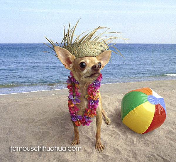 chihuahua with straw hat, standing on beach