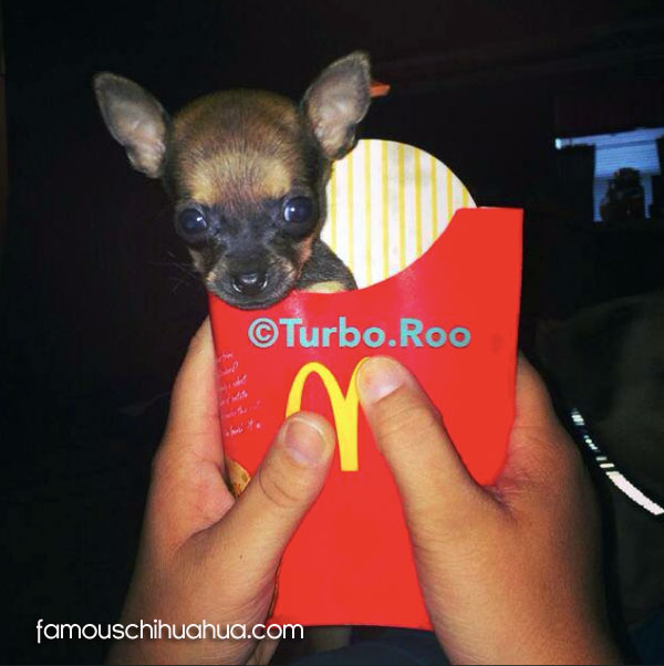 teacup chihuahua in macdonalds french fries box