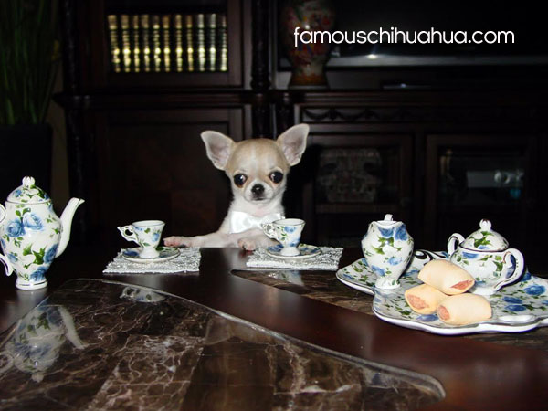 teacup chihuahua tea time