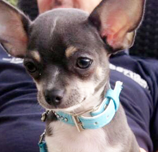 meet baby berto, an adorable blue chihuahua puppy from ...