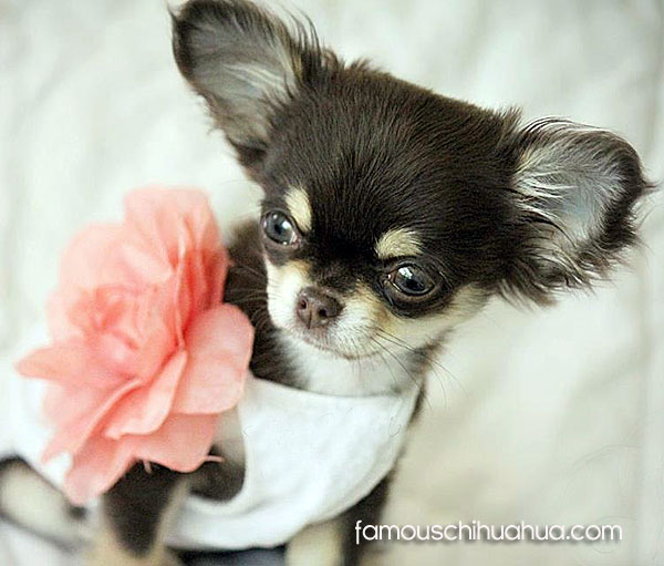 long haired teacup chihuahua puppy