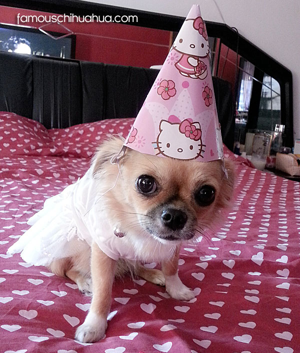 chihuahua party hat