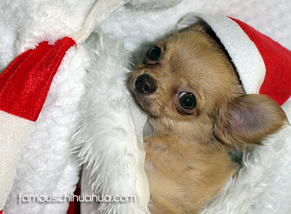 The winner of the 2014 Christmas Chihuahua Picture Contest!
