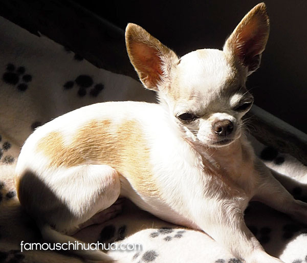 apple head chihuahua sun bathing
