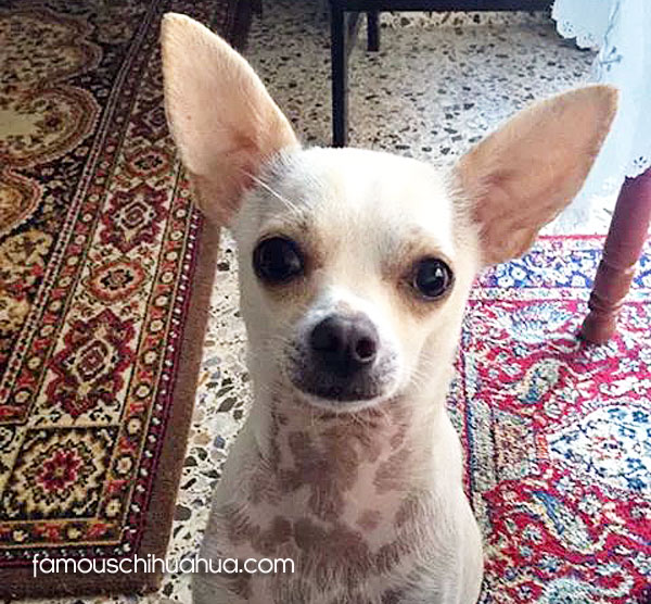 valentin-chihuahua-famous