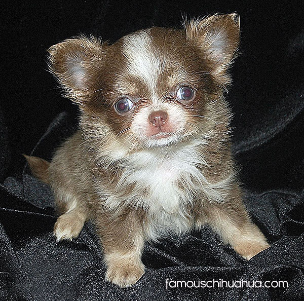 meet kitty boo a seriously cute long hair chihuahua puppy from the uk