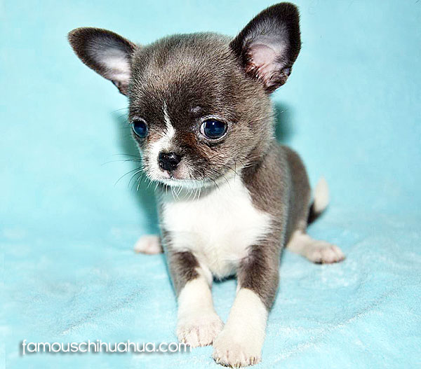 meet lolita, a beautiful blue chihuahua puppy from ...