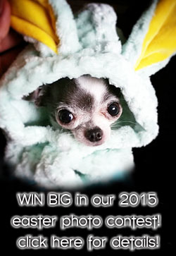 chihuahua easter photo contest!