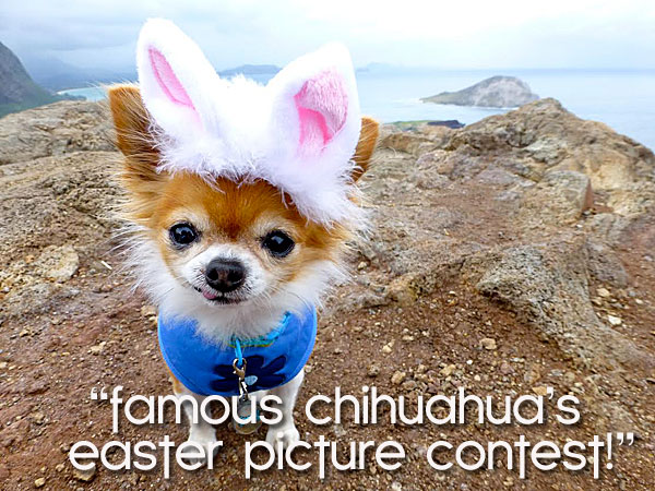 chihuahua-easter-contest