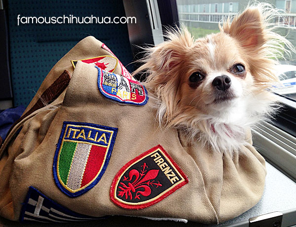 famous travel chihuahua