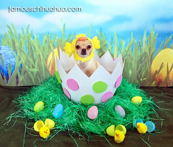 easter chihuahua chick in egg