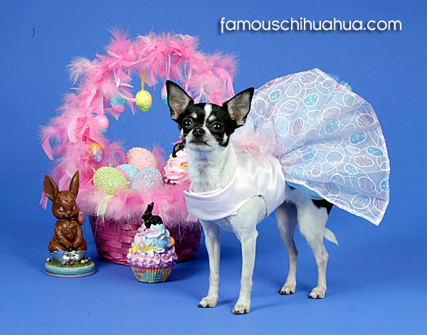 gorgeous chihuahua in tutu