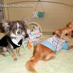 long haired chihuahuas