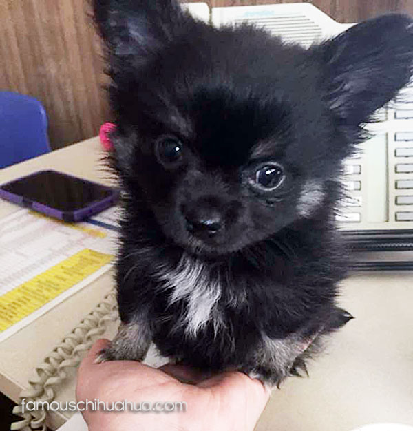 Black Long Haired Chihuahua Puppy