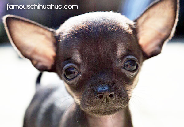 worlds cutest chihuahua