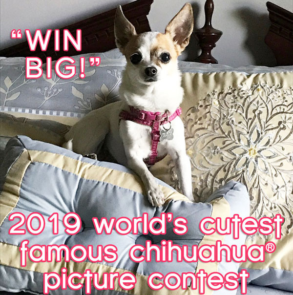worlds cutest famous chihuahua cpntest