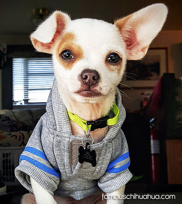 handsome chihuahua