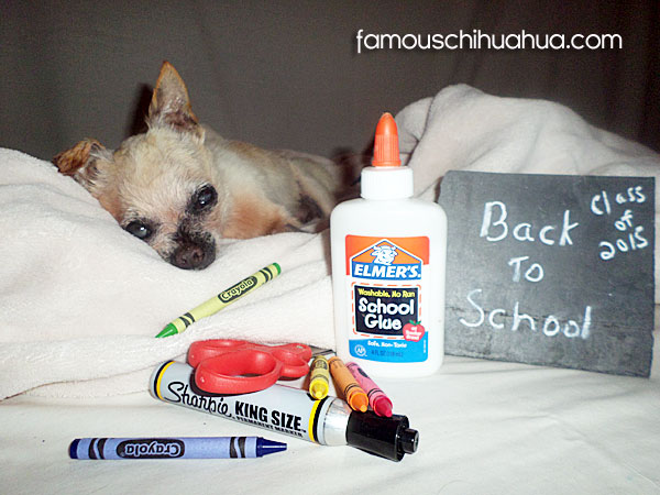 back to school chihuahua