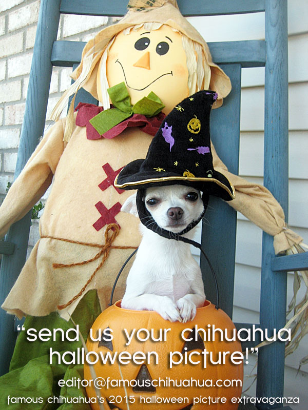 chihuahua halloween dog pictures