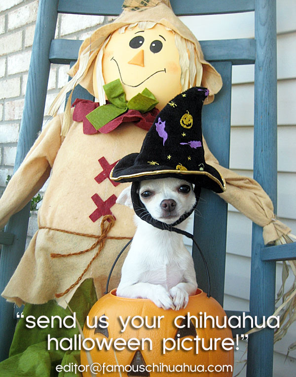 chihuahuas dressed up for halloween