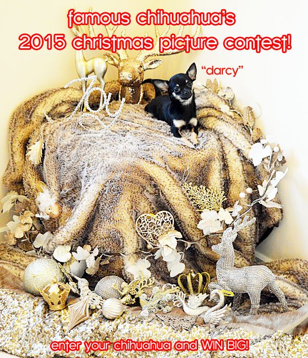 chihuahua christmas picture contest