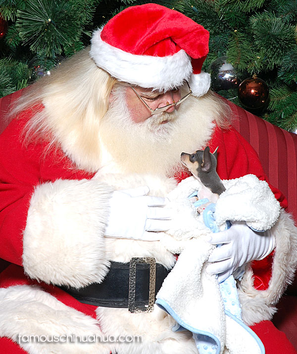 teacup blue chihuahua with santa