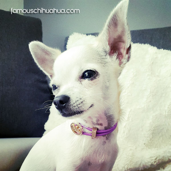 white short haired chihuahua puppy