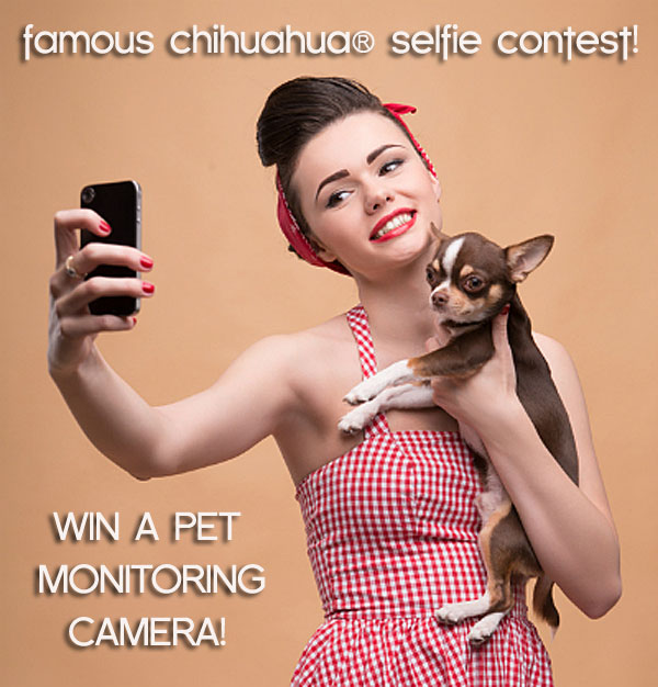famous chihuahua selfie contest