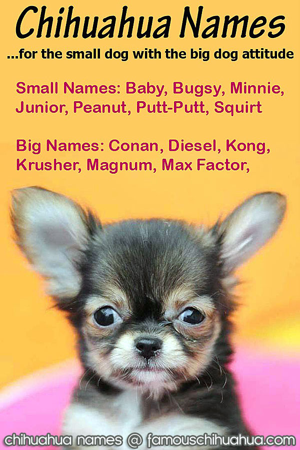 Popular Color Chubby Adorable Dog - Chihuahua-Names-FC  Image_766535  .jpg