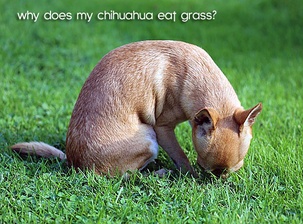 chihuahua eating grass