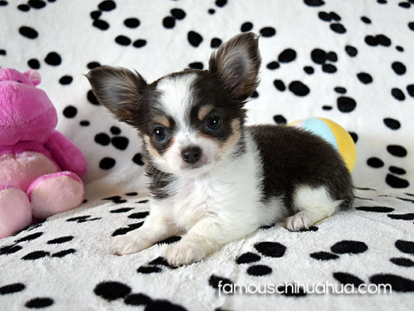 locng haired chihuahua puppy