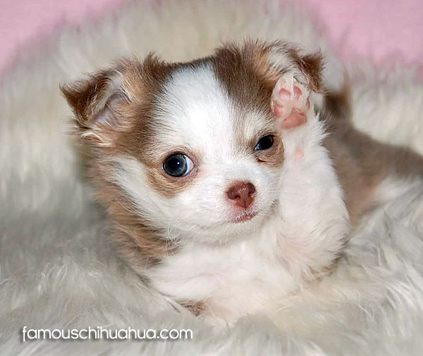 long coat chihuahua puppy