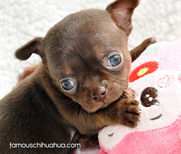 meet bella (formerly cupcake), a super-cute applehead chihuahua from