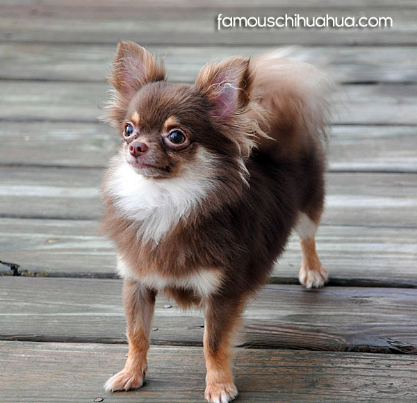 long haired chocolate chihuahua
