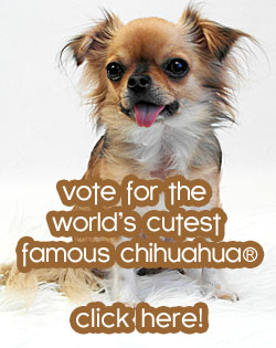 vote worlds cutest chihuahua