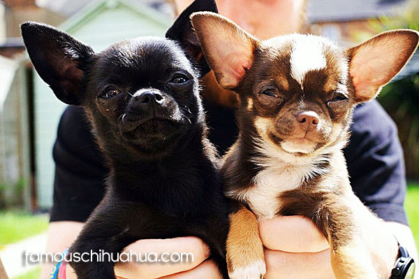 two teacup chihuahuas