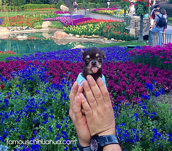 milly, the world's smallest living dog!