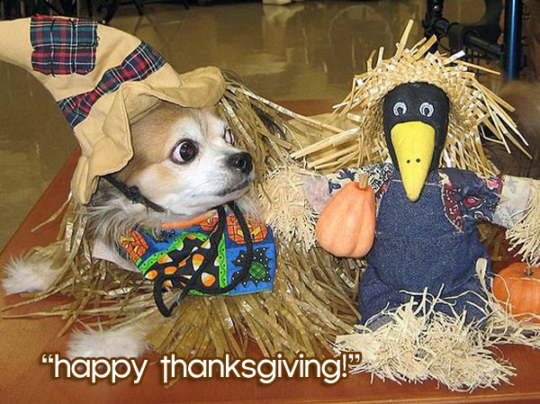 chihuahua thanksgiving scaracrow