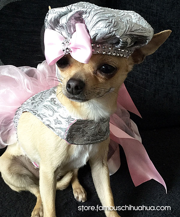 chihuahua fashion model