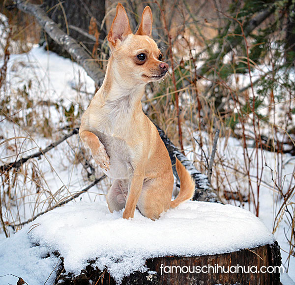 canadian chihuahua tan applehead