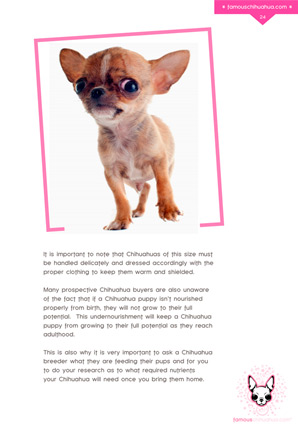 What Is A Teacup Chihuahua Facts On