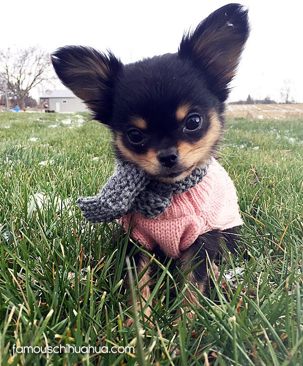 long haired black teacup chihuahua